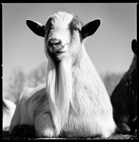 Goatis, Resident of SASHA Farm