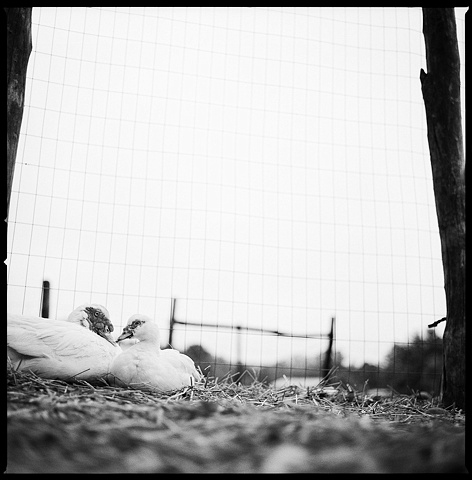 Mickey and Jo, Residents of Woodstock Farm Animal Sanctuary