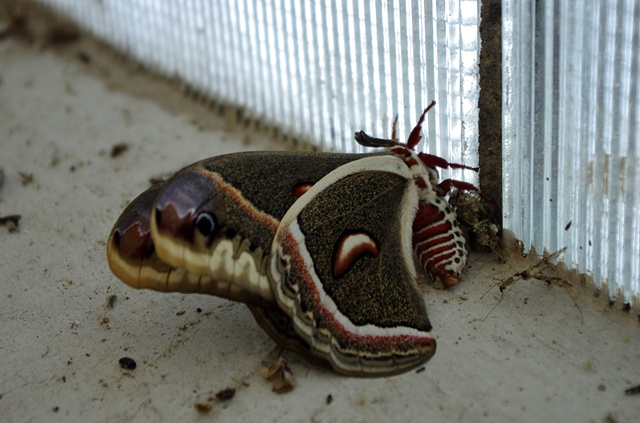 Red Dead Moth