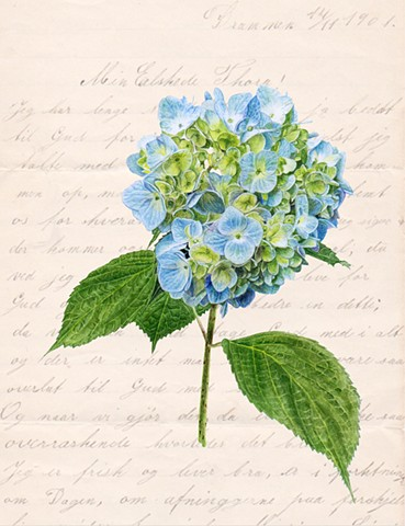 Botanical Hydrangea in watercolor with love letter in Old Norwegian