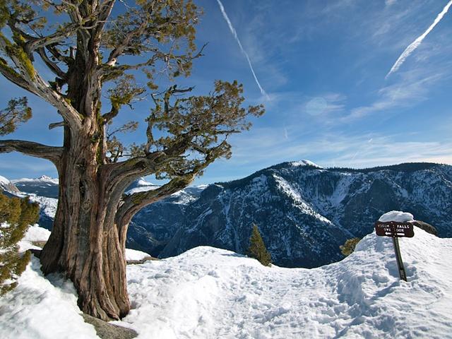 Yosemite Falls Tree