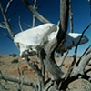 Coyote Skull, Dead Juniper
