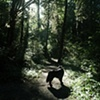 Rainforest Bowie