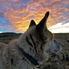 Blonde Coyote Sunset