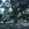 Under the Oregon Oak