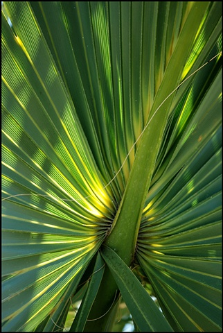 Saw Palmetto leaf, FL