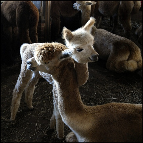 Alpacas, Martha's Vineyard