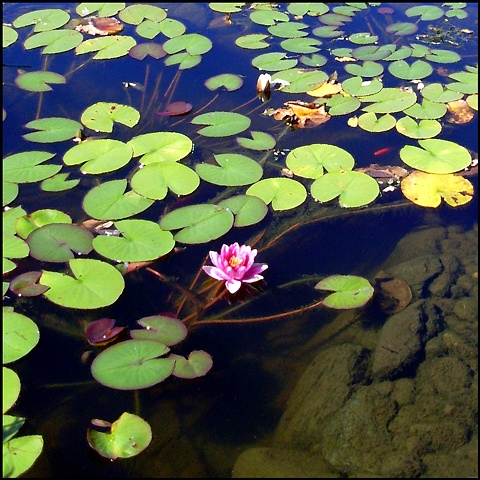 Water lilies, Middletown RI