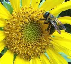 City bees show a richer diet than bees from farmlands