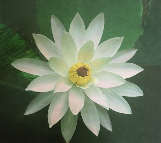 Imperfect Water Lily