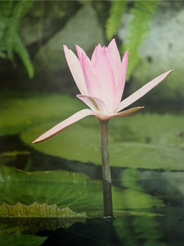 Gibb's Farm Water Lily