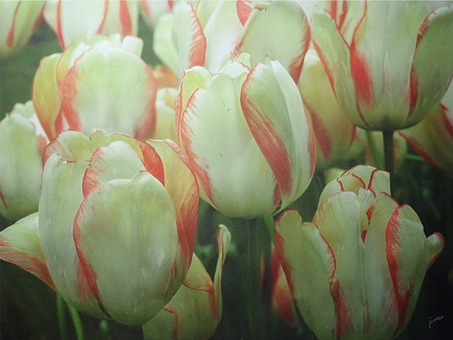 Red-fringed Tulips