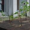 John Preus - Maple Plantation