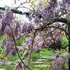 full frame wisteria