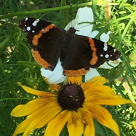 Summer 2016 backyard butterflies