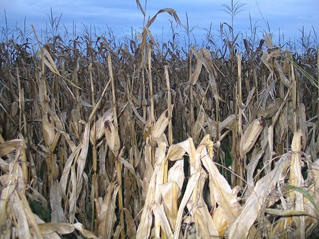 Maryland Cornfield