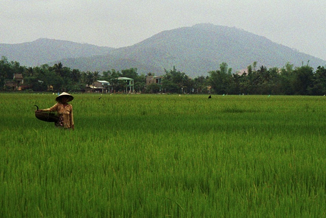 Rice cultivation just outside Danang.