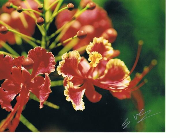 Sven Figueroa - Flower