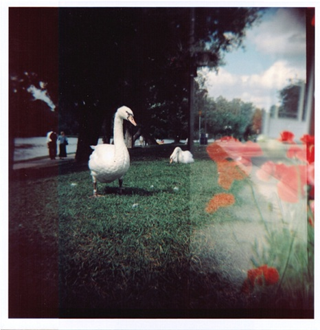 swans and poppies