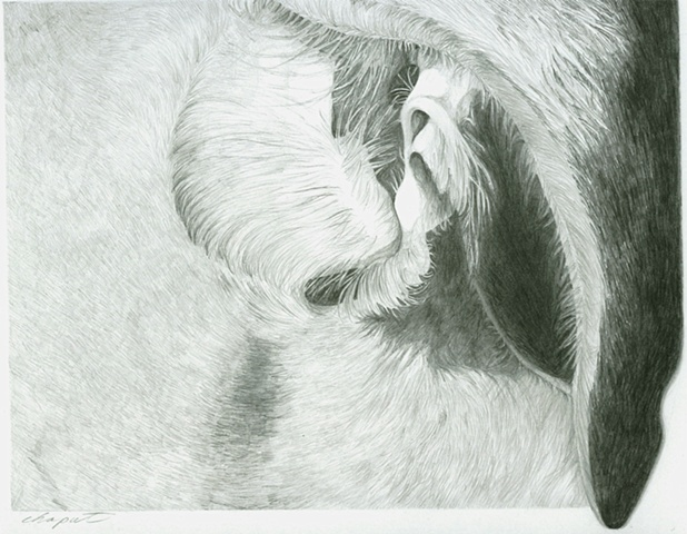 Ear - the Guinness Drawings