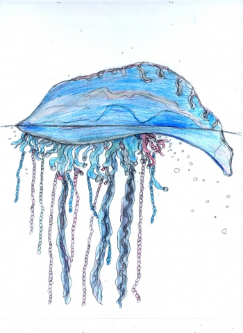 Drawing of a Portuguese Man of War by Christopher Stanton