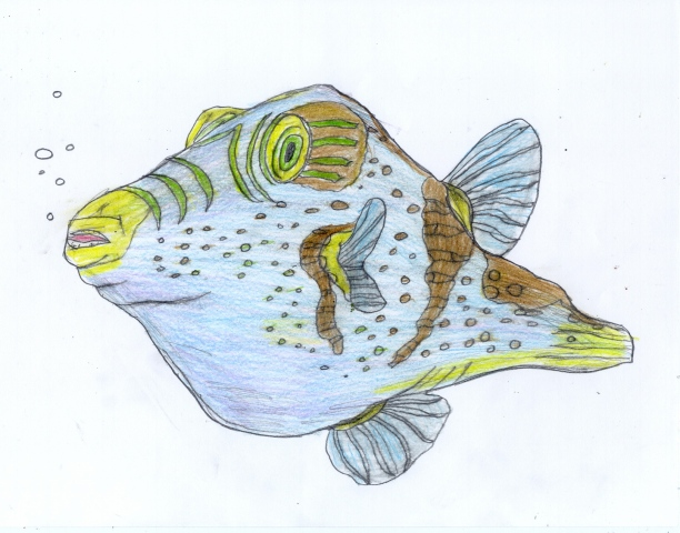 Drawing of a Puffer Fish by Christopher Stanton