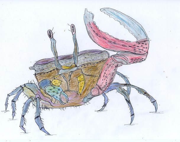 Illustration drawing of a fiddler crab by Christopher Stanton