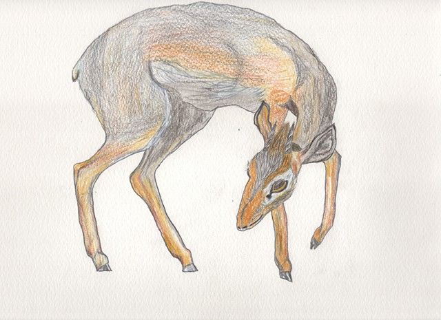 Colored pencil drawing illustration of a dik-dik by Christopher Stanton