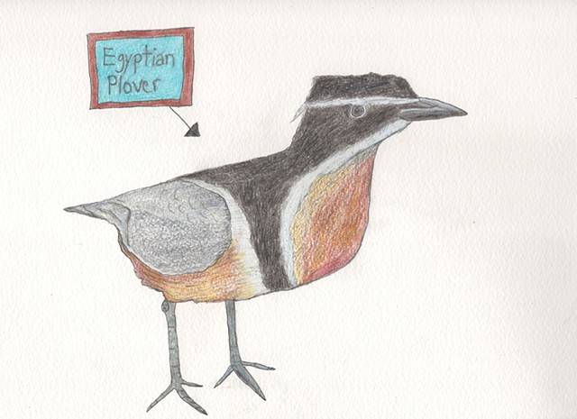 Drawing of an Egyptian plover bird by Christopher Stanton