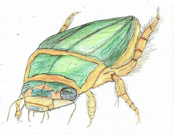 Illustration drawing of a great diving beetle by Christopher Stanton