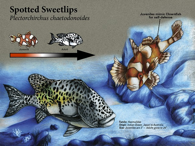Spotted Sweetlips Scientific Marine Plate