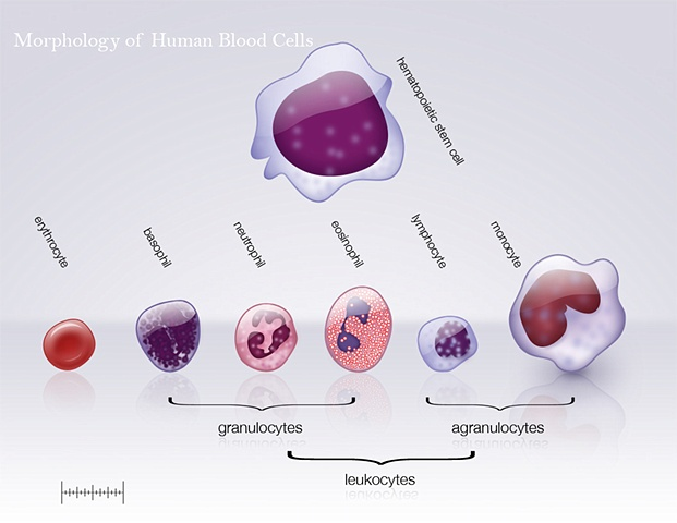 Histology of Red Blood Cells | Brandon Stelter