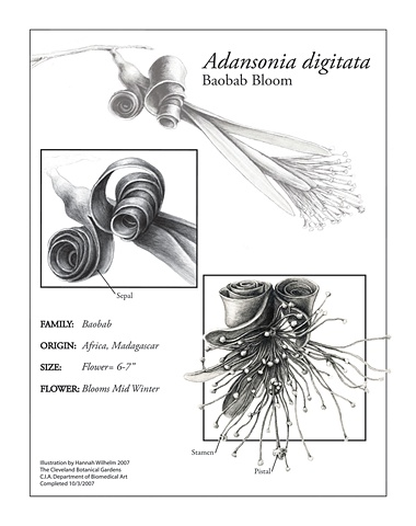 Digital Illustration: Adansonia digitata | Hannah Wilhelm