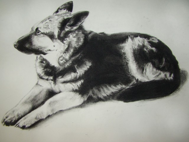German sheppard portrait- charcoal
