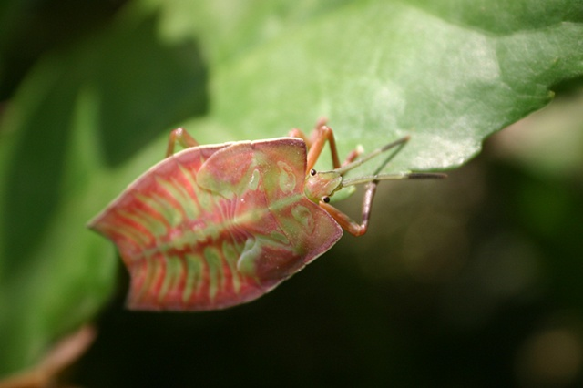 Leaf bug - Guangxi