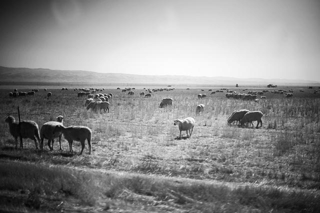 sheep, Fresno County
