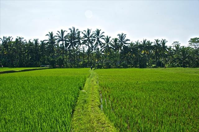 Rice Field in Ubud