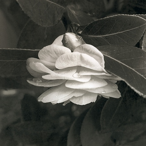 Budding Camellia.  Platinum/Palladium from a digital negative.