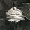 128_ Budding Camellia