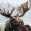 Bull Moose in Velvet and Lupine