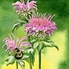 Bee Balm and Bumble Bee