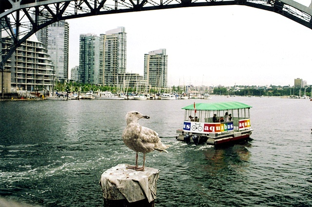 Vancouver seagull