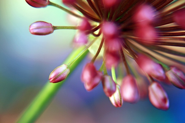 Allium, Belinda Grace Photography, Botanical Fine art, Flora, Flowers, Quad Cities, Moline Illinois, Bucktown Center for the Arts, MidCoast Fine Arts, The ARTery