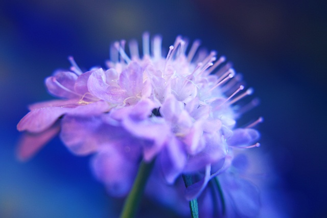 Scabiosa,  Belinda Grace Photography, Botanical Fine art, Flora, Flowers, Quad Cities, Moline Illinois, Bucktown Center for the Arts, MidCoast Fine Arts, The ARTery