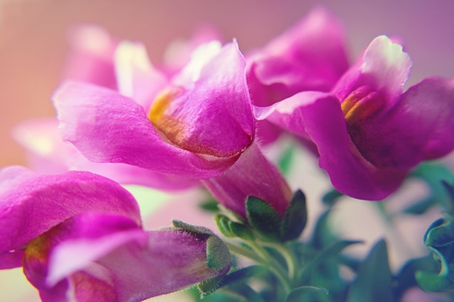 Antirrhinum, snapdragons, Belinda Grace Photography, Botanical Fine art, Flora, Flowers, Quad Cities, Moline Illinois, Bucktown Center for the Arts, MidCoast Fine Arts, The ARTery