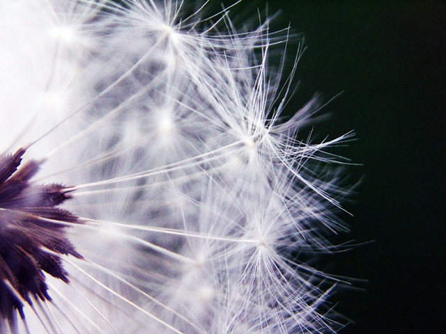 Taraxacum,dandelion, Belinda Grace photography, Botanical Fine Art, Flora Fine Art, Quad Cities, Moline, Illinois, Bucktown Center for the Arts