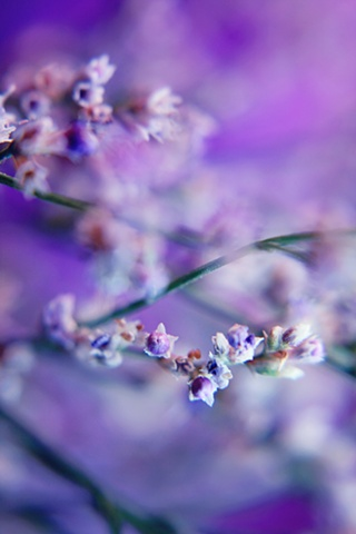 Belinda Grace photography, Botanical Fine Art, Flora Fine Art, Quad Cities, Moline, Illinois, Bucktown Center for the Arts, Gypsophila