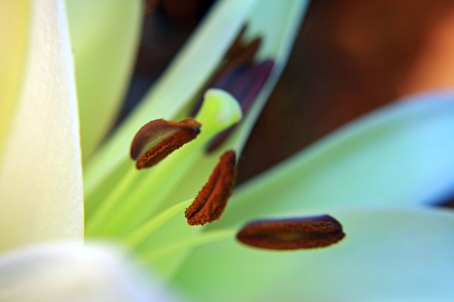 Lilium, lilly, Belinda Grace Photography, Botanical Fine art, Flora, Flowers, Quad Cities, Moline Illinois, Bucktown Center for the Arts, MidCoast Fine Arts, The ARTery