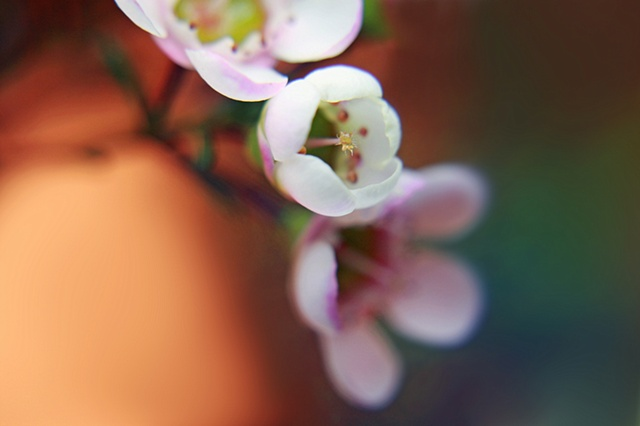 Chamelaucium, wax flower, Belinda Grace Photography, Botanical Fine art, Flora, Flowers, Quad Cities, Moline Illinois, Bucktown Center for the Arts, MidCoast Fine Arts, The ARTery
