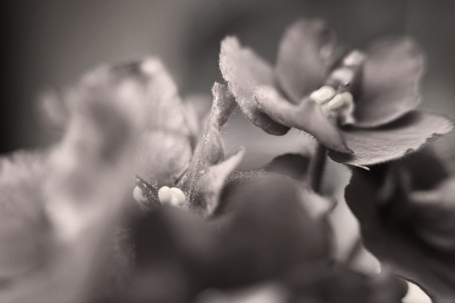 African Violet, Belinda Grace Photography, Botanical Fine art, Flora, Flowers, Quad Cities, Moline Illinois, Bucktown Center for the Arts, MidCoast Fine Arts, The ARTery